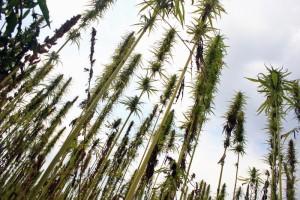 hemp biomassa canapa