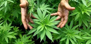 plantes-de-cannabis