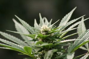 Cannabis Epilessia