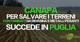 Coltivare canapa per bonificare i terreni contaminati da diossina e metalli pesanti. Succede in Puglia