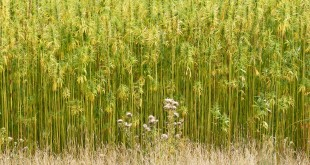 Hemp food, hemp bricks, hemp medicine, hemp clothes, hemp could be everywhere
